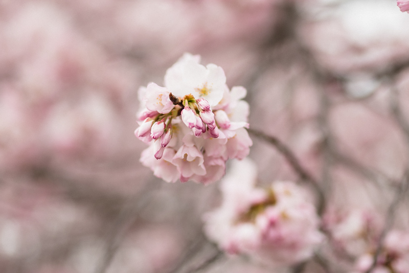 Cherry Blossoms (116 of 182).jpg
