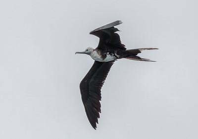 Frigate Birds