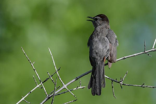 6-30-17 Gray Catbird