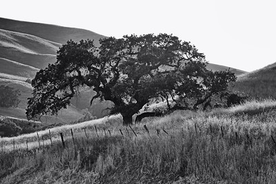Coyote Valley, Metcalf Oaks