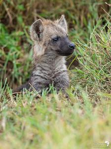 Spotted Hyena cub portrait