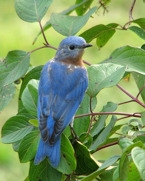 bluebird_fledgling_9905.jpg