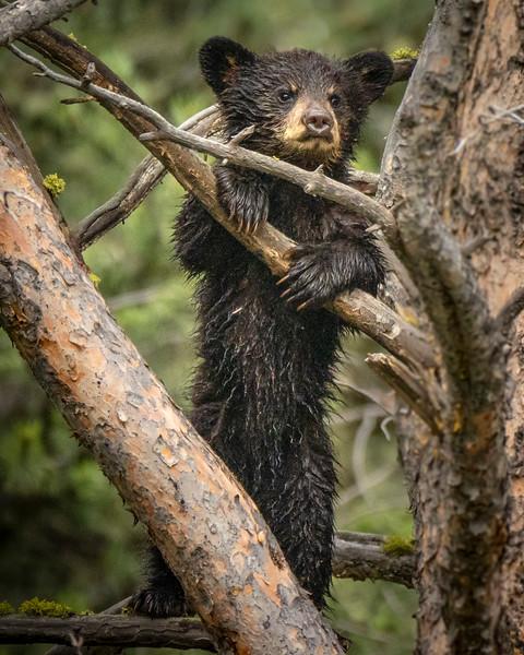 Joan_Robins_180601-Bear Cub 24x30-6011415_adjusted.JPG