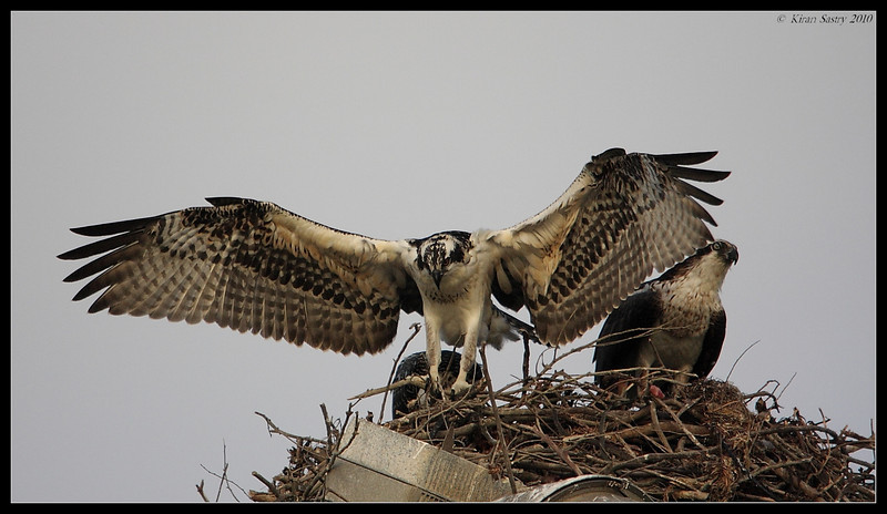 Juvenile Osprey flaps its wings while Mother Osprey looks on, Robb Field, San Diego River, San Diego County, California, May 2010