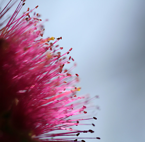 2665 Bottlebrush.jpg