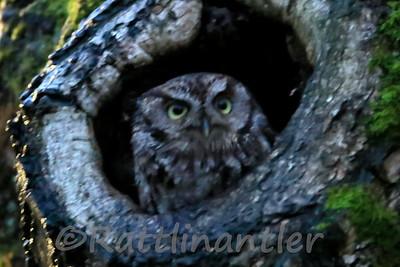 Western Screech-Owls