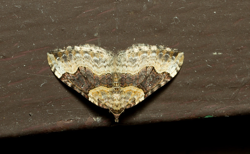 Geometrid moth, Xanthorhoe sp, from Grand Teton National Park in Wyoming.