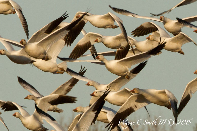 Snowgeese Migrating