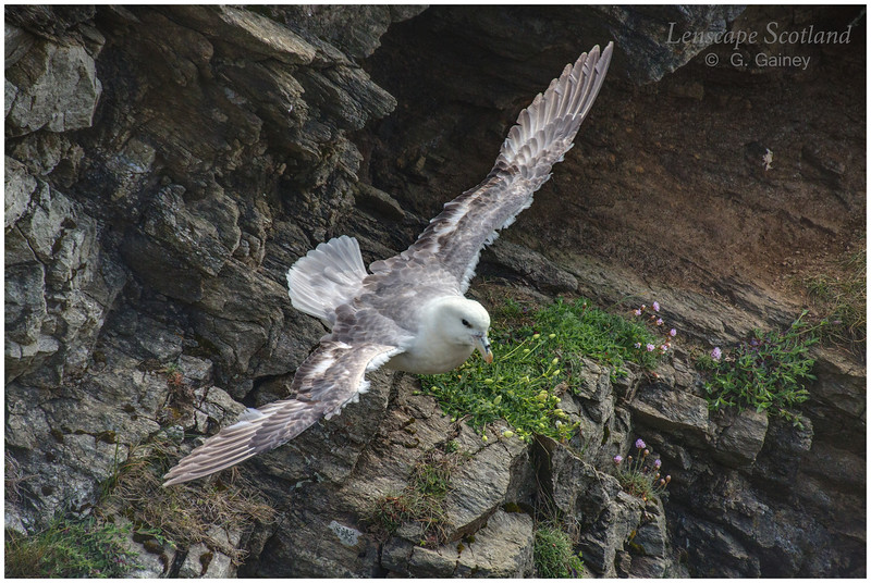 Fulmar in flight, Blue Mull (Unst)