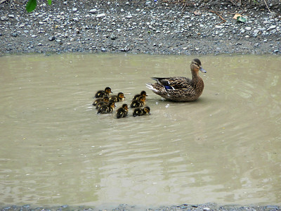 Mother Duck & Ducklings