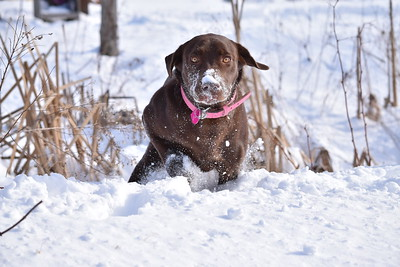 Happy Lab in the snow