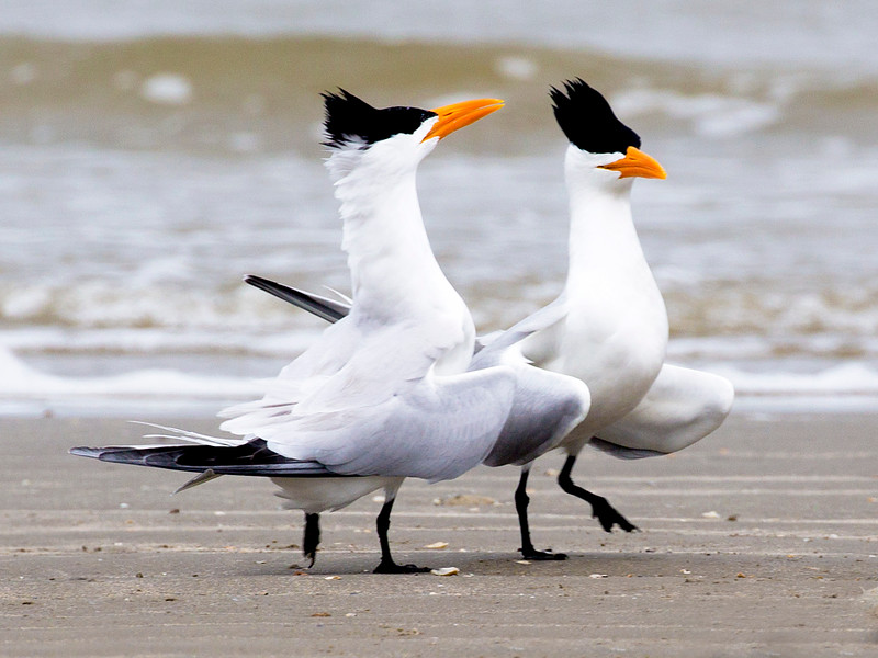 A pair of Royal Terns in conversation ...