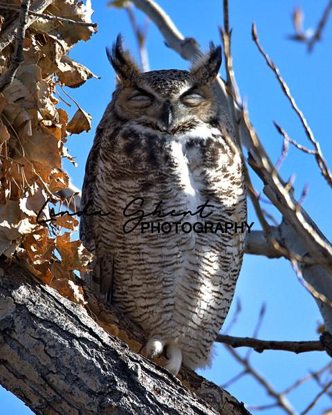 Sleeping Great Horned Owl