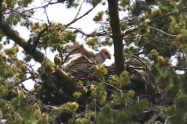 May 19, 2012 Hawk babies   4443.png