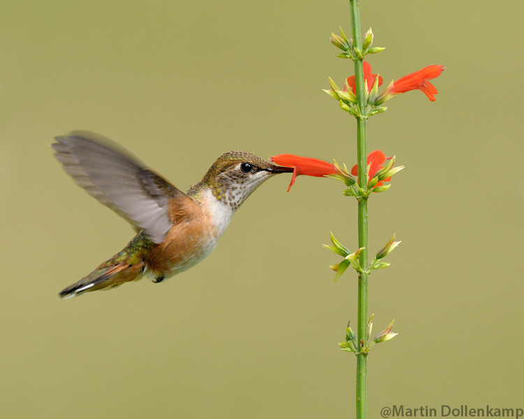 Rufous Hummingbird, juvenile male, at the Salvia subrotunda Selasphorus rufus