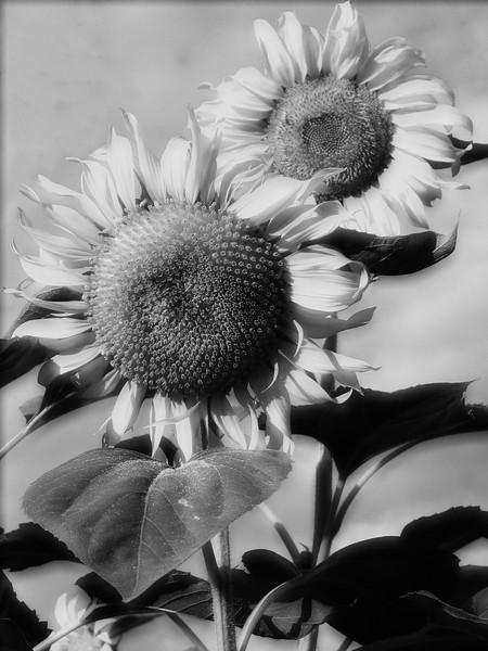 amh FLOWERS (1920).jpg