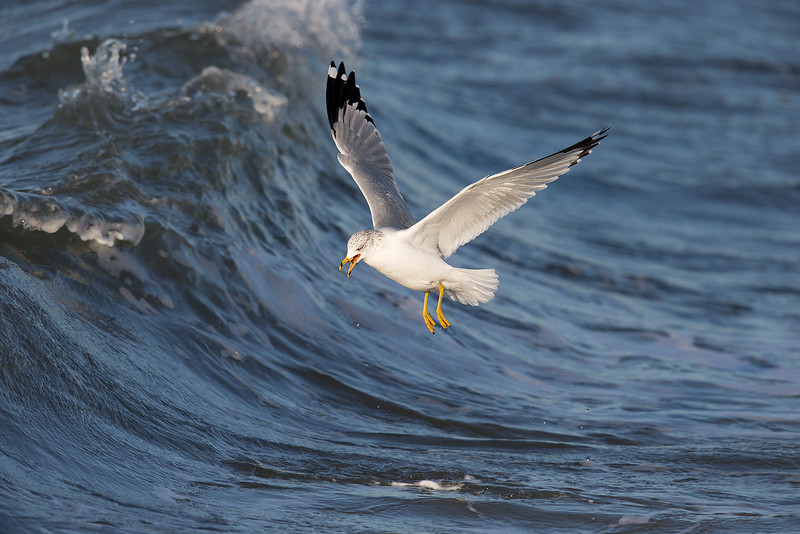Ring-billed Gull in Wave_O8U6987-2.jpg