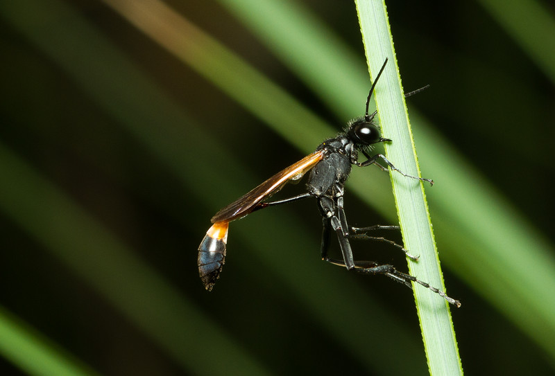 Thread-waisted wasp, Ammophila sp. (Sphecidae) from Jacksonville, Florida. This individual was using its strong jaws to hold on to a blade of grass in the stiff breeze.
