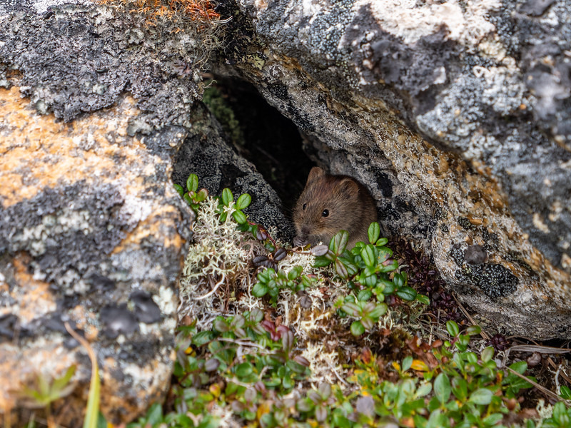 Arctic Field Mouse