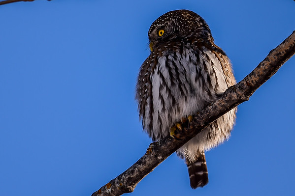 2-23-15 Pygmy Owl with lunch