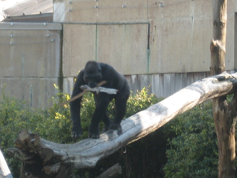 Western lowland gorilla at the Smithsonian's National Zoological Park (4/23/11)