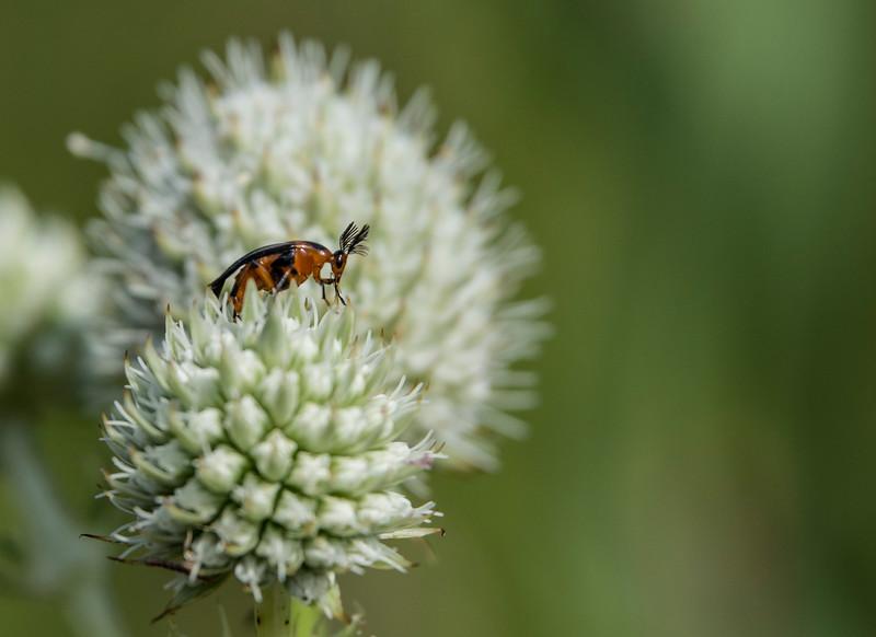 Antler-antenae-beetle-SFbog2.jpg