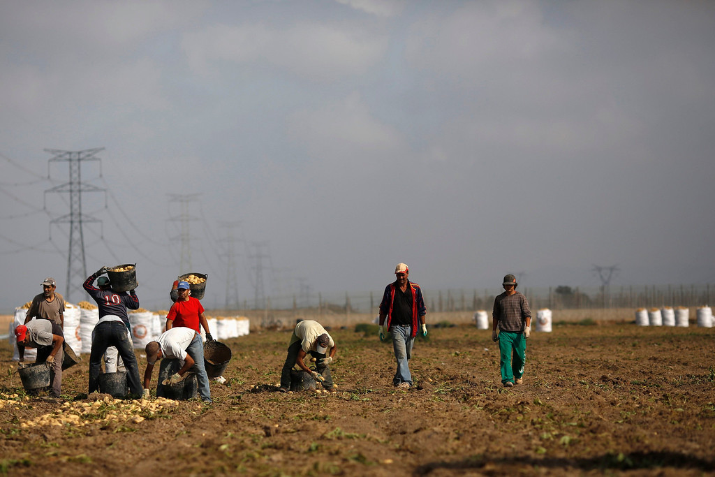 """. Labourer Jorge Ibanez, 20, (R) harvests potatoes, working with a group of day labourers, most of whom come from Morocco, in the southern Spanish region of Murcia, June 7, 2013. Ibanez quit school at the age of 16 to help pay the bills at home and did various different jobs before going back to complete his secondary education. Recently, he decided to start working as a day labourer. \""""I know for sure this is not what I want to do for the rest of my life, but this is all I can find now,\"""" he says. The majority of day labourers in the region come from Morocco and Ecuador, and it can be rare to see Spanish labourers in the fields. Nevertheless, as Spain wrestles with economic crisis and youth unemployment levels above 50 percent, some young Spaniards are starting to consider the kinds of jobs mostly performed by immigrants during the boom years.  Picture taken June 7, 2013. REUTERS/Susana Vera"""