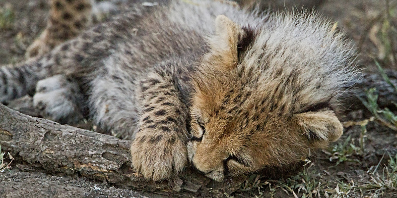 TANZANIA - AFRICAN CATS