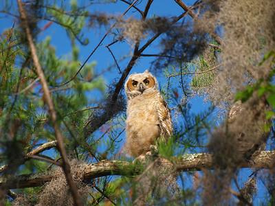 Owls at Arthur Marshall Preserve