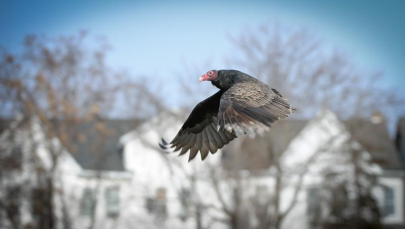 buzzards-4927.jpg
