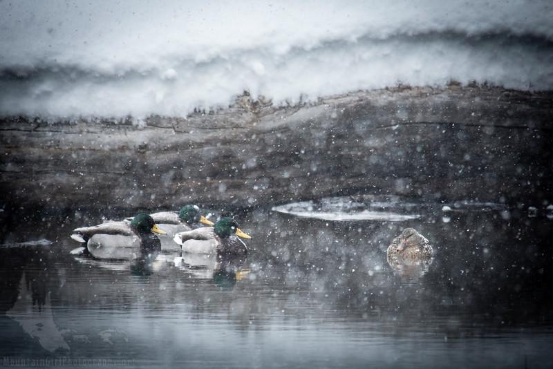Waiting Out the Storm Mallard Ducks