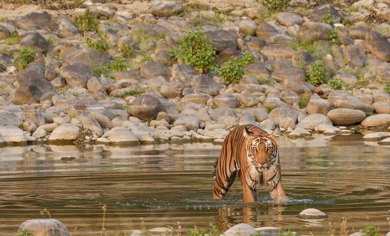 Tigress-Paarwali-Corbett-Dhikala2.jpg