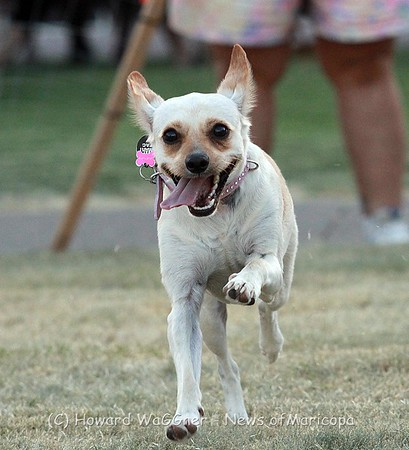 Chihuahua Races 2018. Dolly WaGGner wins!