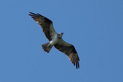 Osprey (Fish Eagle)