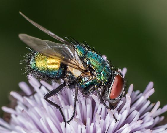Blowflies (Calliphoridae)