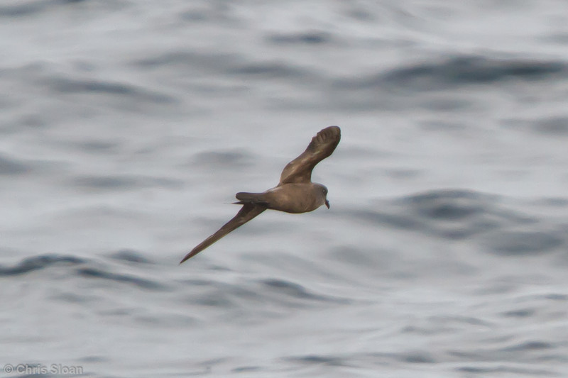 Ashy Storm-Petrel at pelagic out of Bodega Bay, CA (10-15-2011) - 418.jpg
