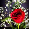 Rose-005