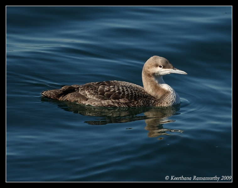 Pacific Loon, Oceanside Harbor, San Diego County, California, January 2009