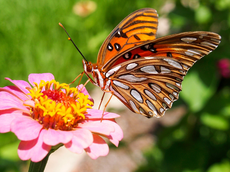 9_20_19 Gulf Fritillary Nectars On Zinnia.jpg