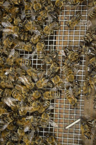 2015-01-30_Hive#3_Dead_Bees_002.JPG
