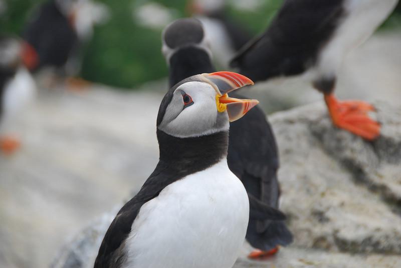 Machias Seal Island Trip - 095