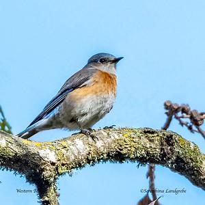 Blue Birds & Thrush