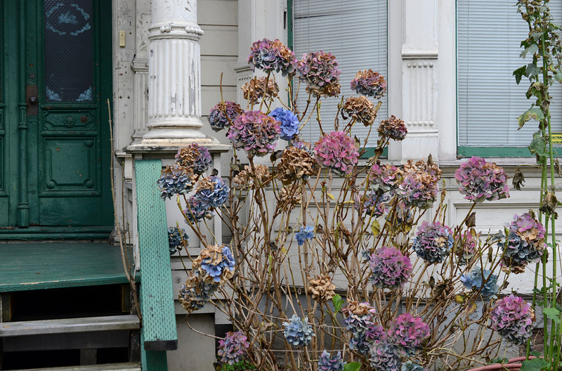 0122 blossom  Leftover hydrangeas in front of an old Victorian waiting to be refurbished.  I think they look good together.