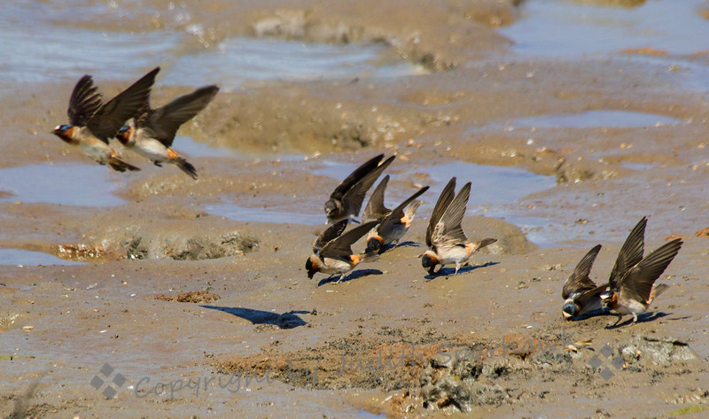 Flying in Formation ~ Cliff Swallows flying in tandem, away from the mud-gathering area, getting mud for nest building.