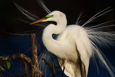 Great Egret Breeding