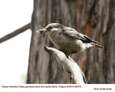 Pygmy Nuthatch A69470.jpg