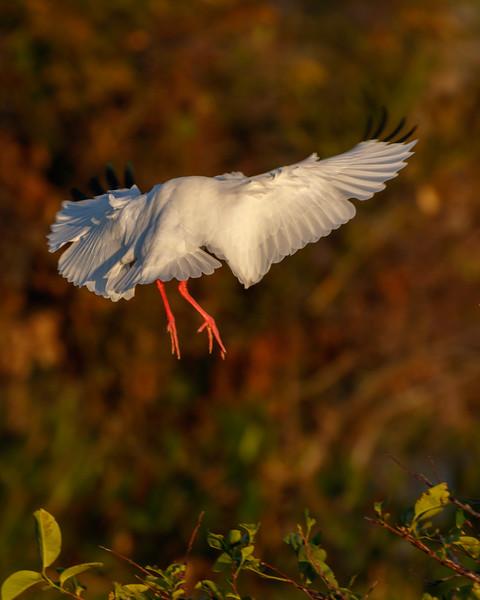 Wood Stork Landing-6943.jpg