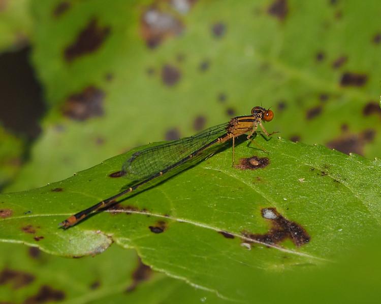 Orange Bluet, male