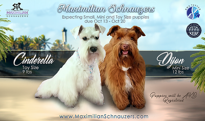 Cinderella & Dijon Puppies, DOB 10/18/2020