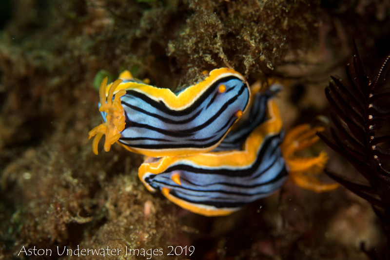 Chromodoris elisabethina (mating)
